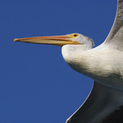 July 2010 American White Pelican