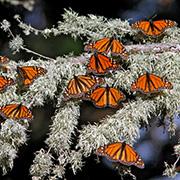 August 2012 Monarch Butterflies
