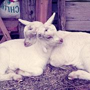 May 2012 Goat kids