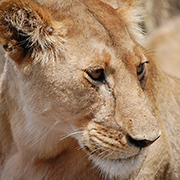 Lioness Portrait by Kim Finch